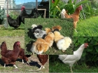 Chickens For Sale