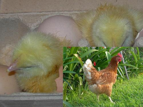 Fertile Chicken Eggs - Barter Brown Per EGG! - Click Image to Close