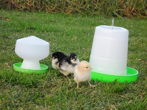 3 Day Old Cross-bred Chicks, Drinker & Feeder Pack - Click Image to Close